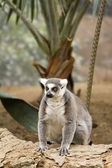 Ring tailed lemur — Stock Photo