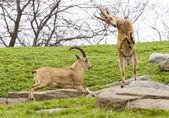 Nubian ibex — Stock Photo