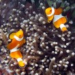Clownfish — Stock Photo #38925611