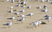 Black headed Gulls — Stock Photo