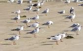 Black headed Gulls — Stock Photo