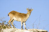 Iberian ibex — Stock Photo