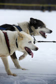 Dogsled competition — Stock Photo