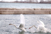 SWAN TAKE FLIGHT — Stock Photo
