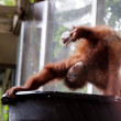 orangutans — Stock Photo