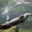 Mink swimming — Stock Photo