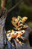 Golden frog — Stock Photo