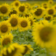 Sunflower — Stock Photo #33548665