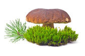 Cep on the green moss — Stock Photo