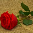 Red rose — Foto de Stock