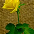 Yellow rose — Foto de Stock