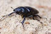 Female of beetle — Stock Photo