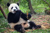Panda eating bamboo in forest — Stock Photo