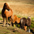 Funny horses in the fields of Iceland — Stock Photo #23664737