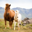 Funny horses in the fields of Iceland — Stock Photo #23664765