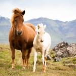 Смешные лошадей в областях Исландии — Стоковое фото