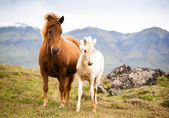 Funny horses in the fields of Iceland — Stok fotoğraf