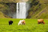 Mleczne krowy pasące się na zielonej trawie w pobliżu wodospadu islandii — Zdjęcie stockowe