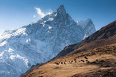 Herd of yaks grazing in the meadow of snow, high mountains of Himalayas — Stock Photo