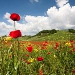 Poppy field — Stock Photo #26296741