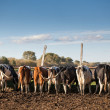 The dairy cows life in a farm. Dairy cows are reared for milk production.  — Stock Photo