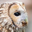 Brown owl close up — Stock Photo