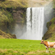 Dairy cows grazing on green grass near the waterfall Iceland — Stock Photo #26296819