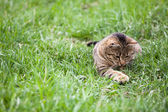 Cat playing in the green grass — Stock Photo