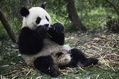 Panda — Zdjęcie stockowe