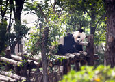 Sleeping giant panda baby — Foto Stock