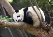 Dziecko śpi pandy — Zdjęcie stockowe