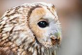 Brown owl close up — Stockfoto