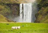 Sheep grazing on green grass near the waterfall Iceland — Stock Photo