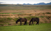 Icelandic horses in a peaceful meadow dominated by a volcanic — Stock Photo