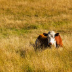 mucche — Foto Stock