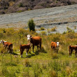 vaches — Photo #43429145