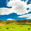 Grazing cows — Stock Photo #43433677