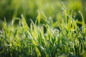 Dew on grass — Stock Photo