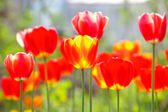 Red and yellow tulips in a flowerbed — Stock Photo