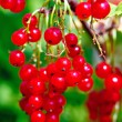 Bunch of red currants on the bush — Stock Photo