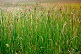 Many cattails in a swamp — Stock Photo