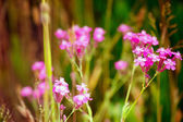 Pink flowers in a meadow — Stock Photo
