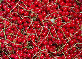 Many bunches of red currant — Stock Photo