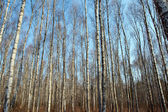Trunks of birch trees and blue sky in Autumn — Stock Photo