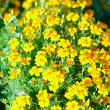 Stock Photo: Yellow flowers in meadow as texture