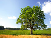 Summer landscape with a tree and field of crops — Stock Photo