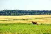 Landscape with forest and horse in a meadow — Stock Photo
