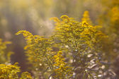 Yellow flowers in a meadow as a texture — Stock Photo
