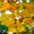 Many colored autumn leaves of maple — Stock Photo