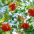 Bunches of rowan berries in autumn — Stock Photo